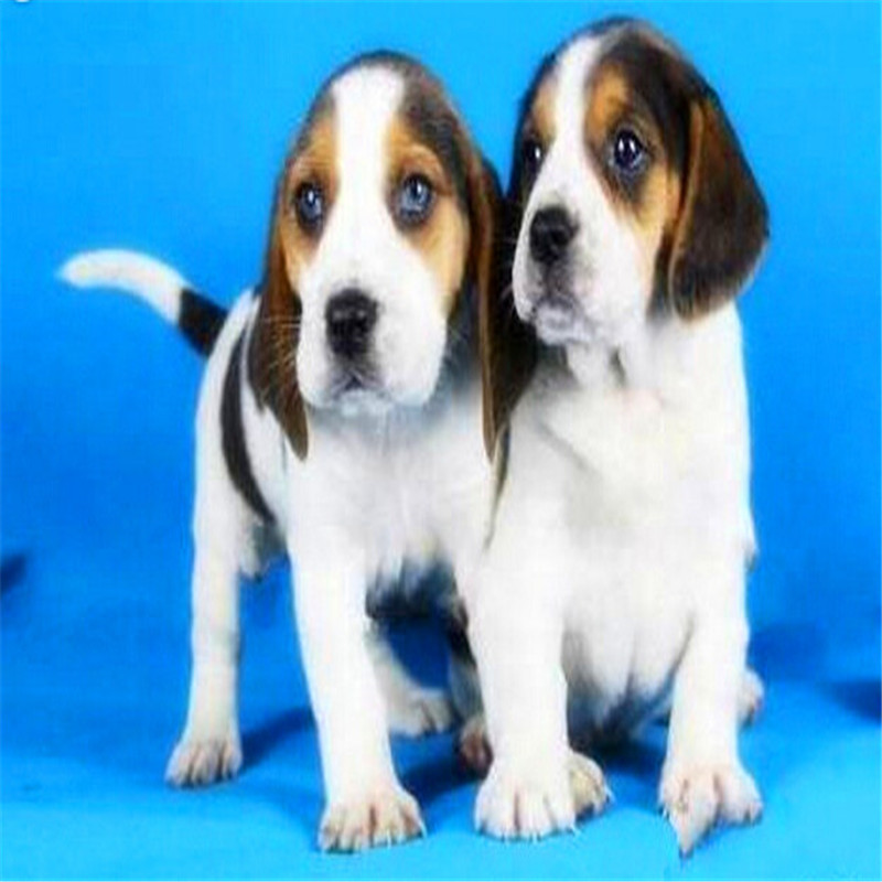 出售精品比格犬 打完疫苗证书齐全 提供养狗指导2