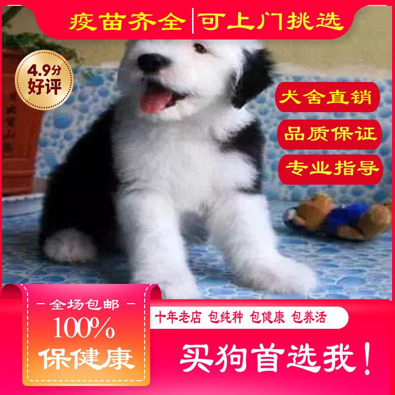 出售精品古代牧羊犬 打完疫苗证书齐全 提供养狗指导