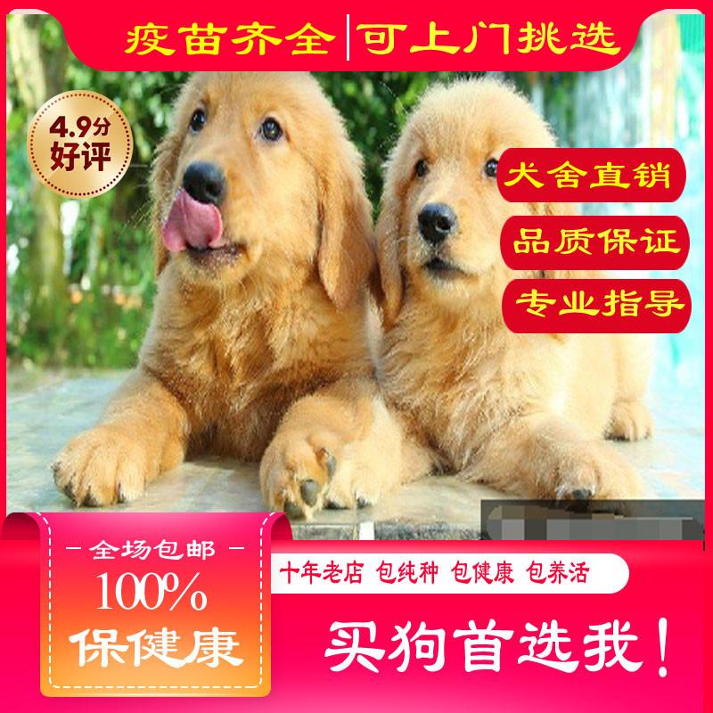 出售精品金毛犬 打完疫苗证书齐全 提供养狗指导