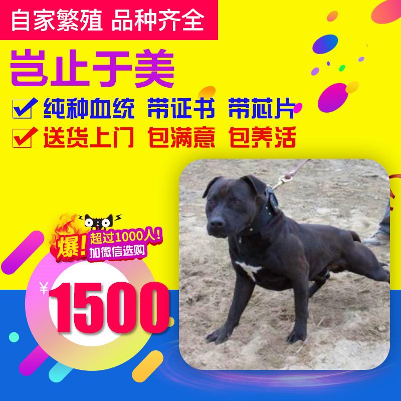 出售精品比特犬 打完疫苗证书齐全 提供养狗指导