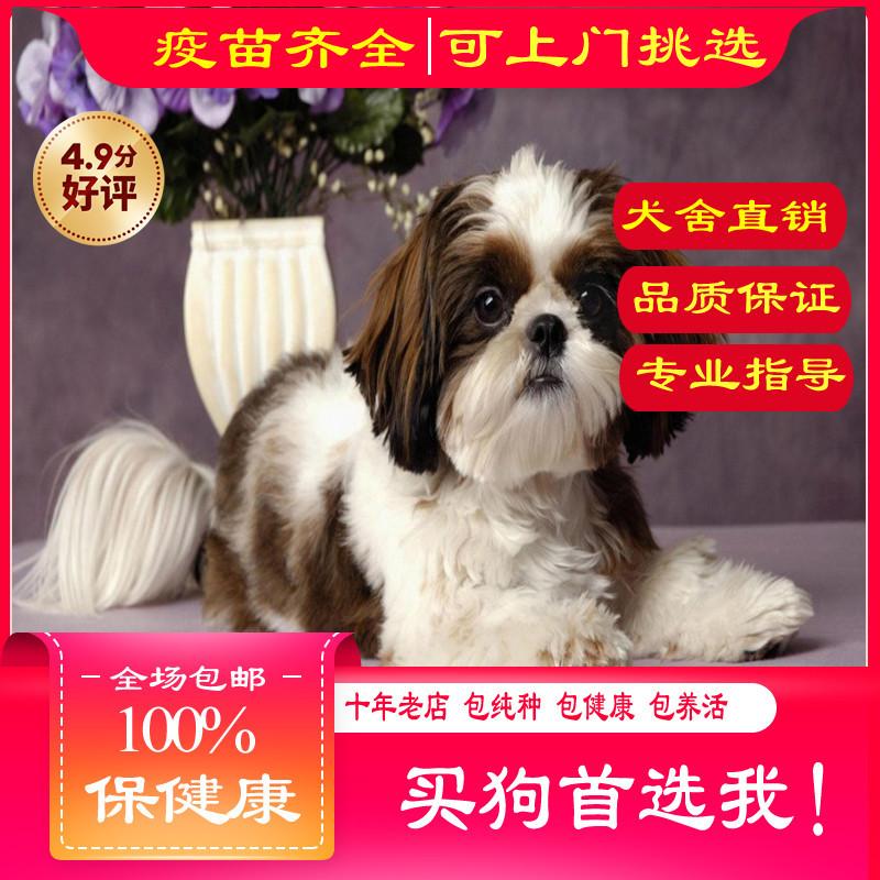 出售精品西施犬 打完疫苗证书齐全 提供养狗指导