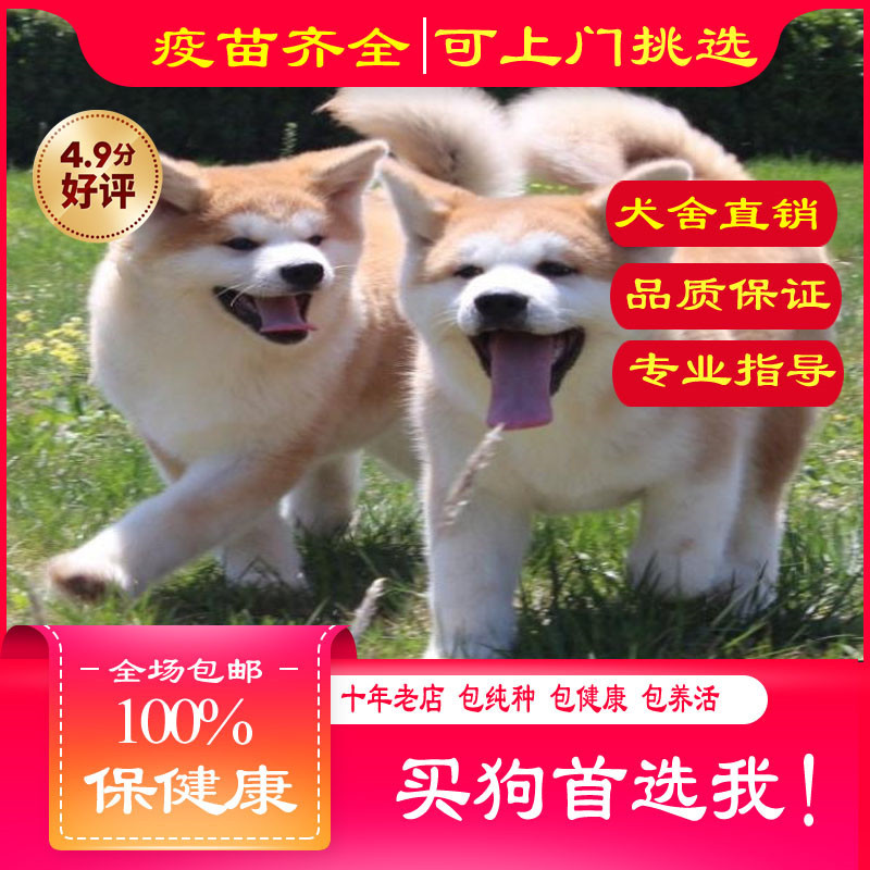 出售精品秋田犬 打完疫苗证书齐全 提供养狗指导