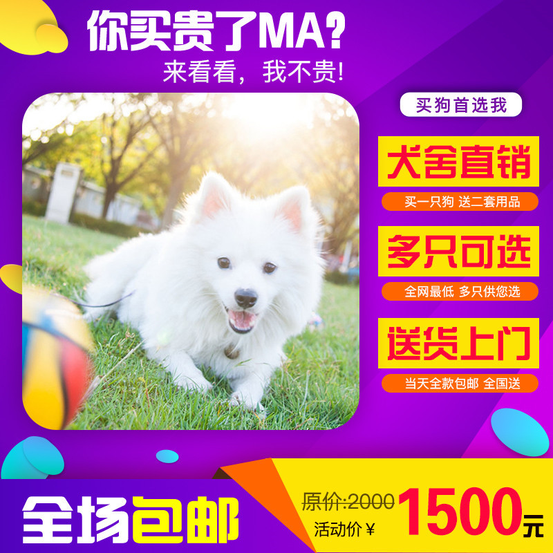 出售精品银狐犬