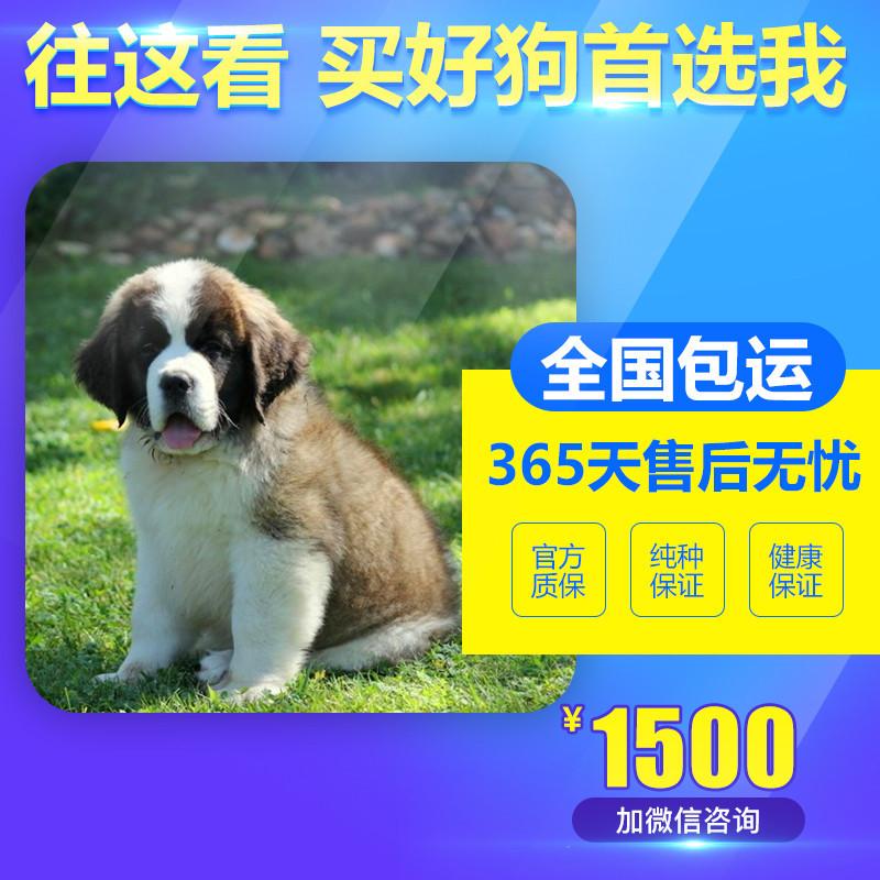 出售精品圣伯纳犬 打完疫苗证书齐全 提供养狗指导