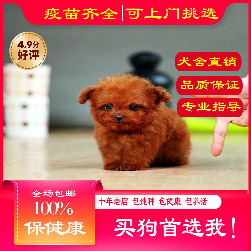 出售精品茶杯犬