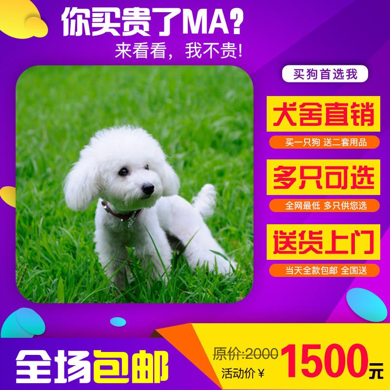 出售精品贵宾犬 打完疫苗证书齐全 提供养狗指导
