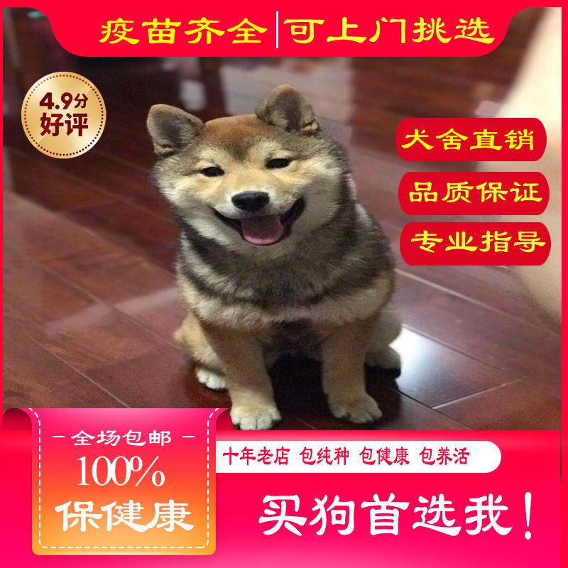 出售精品柴犬提供养狗指导