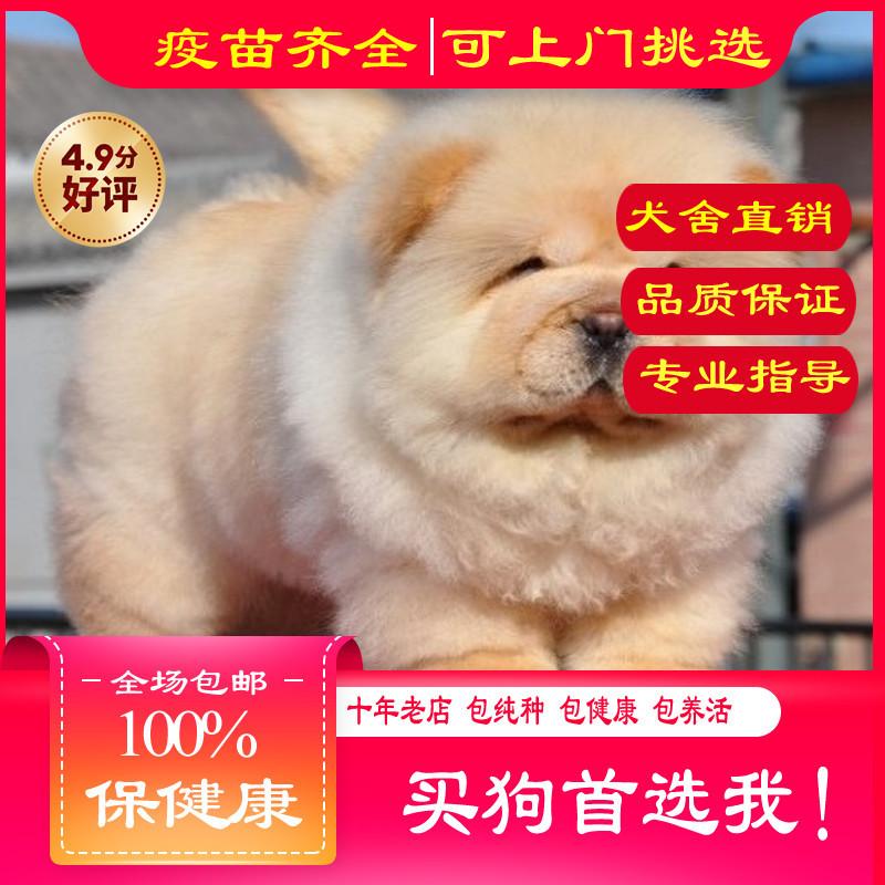 出售精品松狮犬