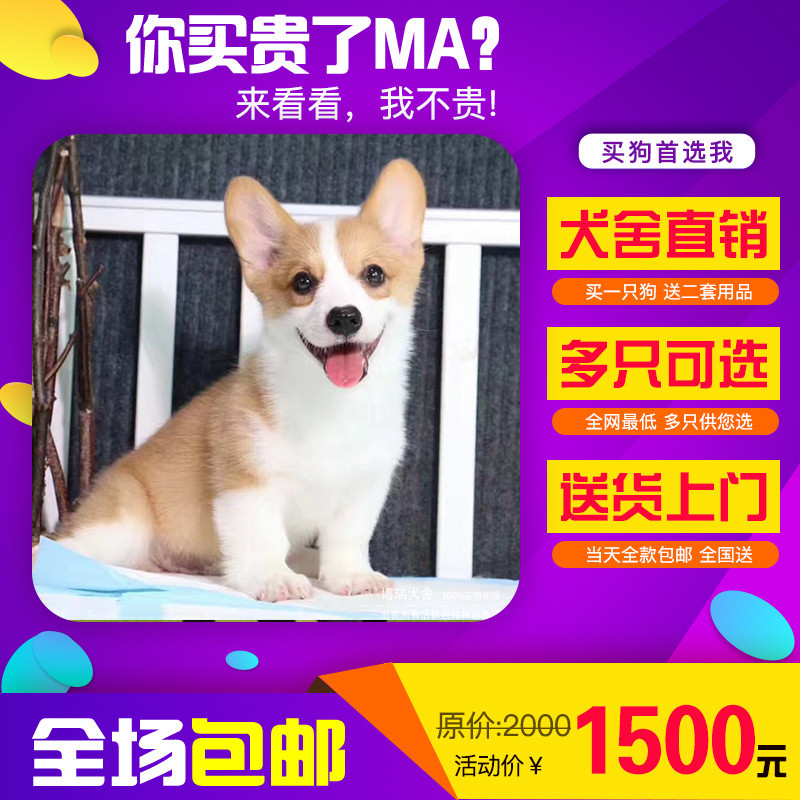 出售精品柯基犬 打完疫苗证书齐全 提供养狗指导