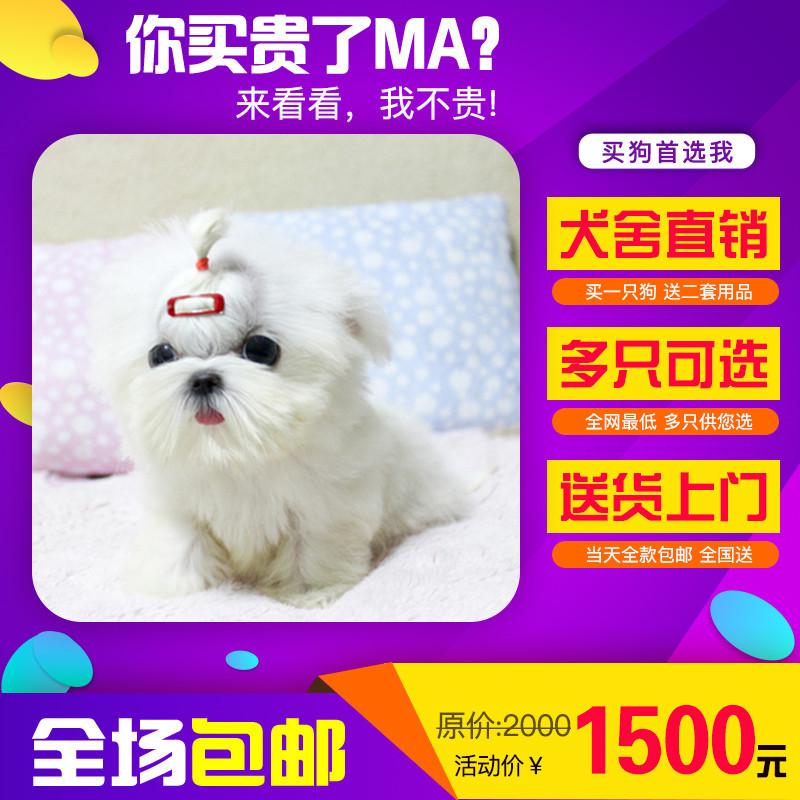 出售精品马尔济斯 打完疫苗证书齐全 提供养狗指导