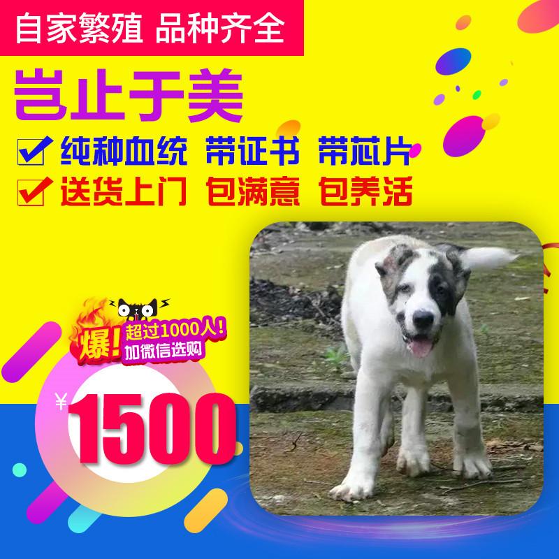 出售精品中亚犬 打完疫苗证书齐全 提供养狗指导