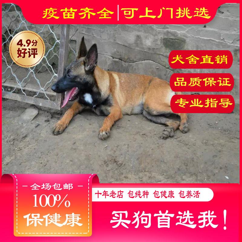 出售精品马犬 打完疫苗证书齐全 提供养狗指导
