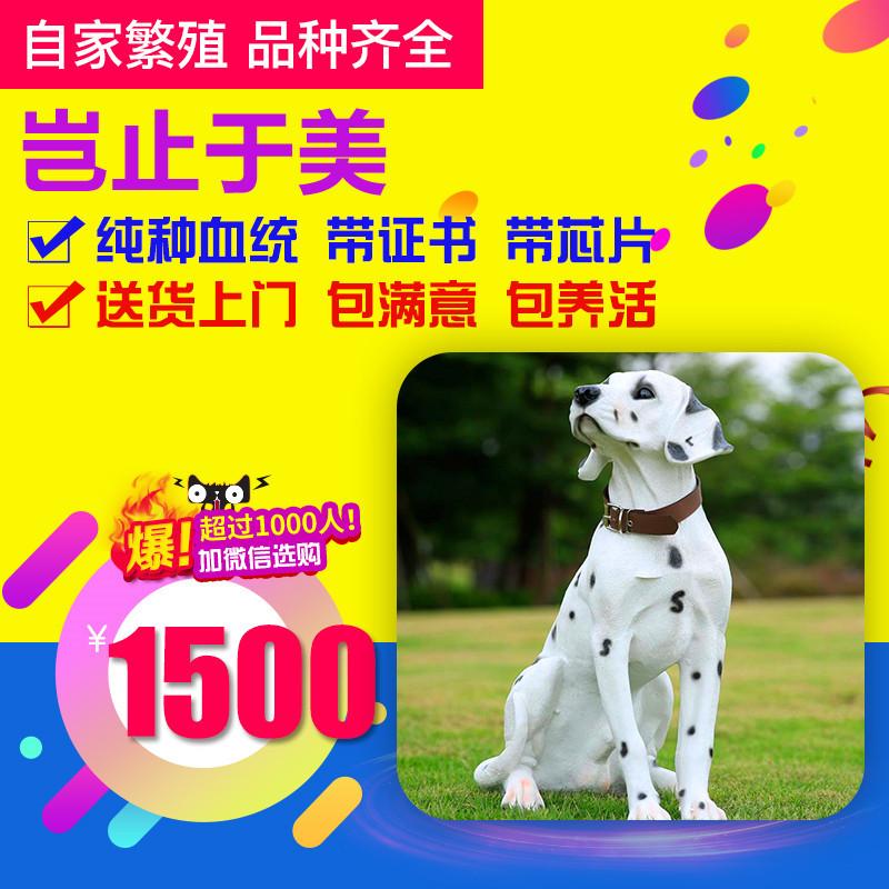 出售精品斑点 打完疫苗证书齐全 提供养狗指导1