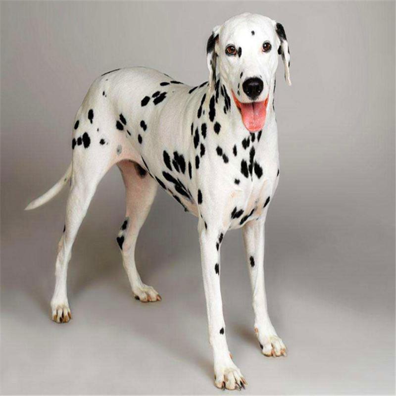 出售精品斑点 打完疫苗证书齐全 提供养狗指导2