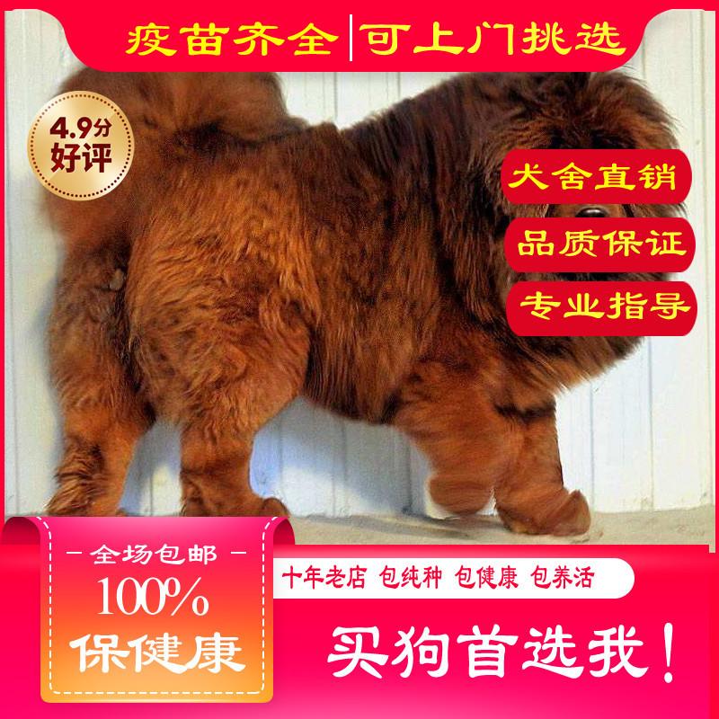 出售精品藏獒 打完疫苗证书齐全 提供养狗指导