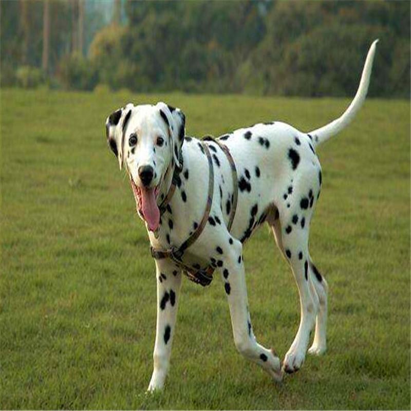 出售精品斑点 打完疫苗证书齐全 提供养狗指导4
