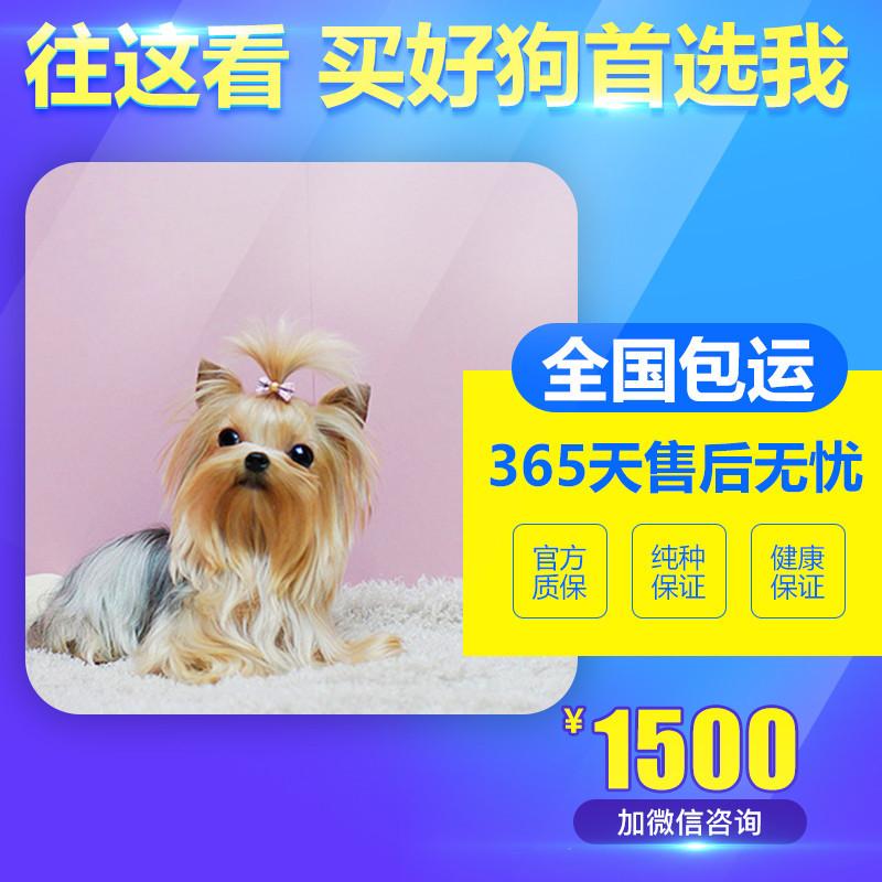出售精品约克夏 打完疫苗证书齐全 提供养狗指导