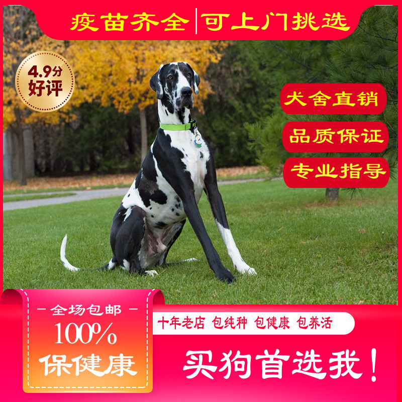 出售精品大丹 打完疫苗证书齐全 提供养狗指导
