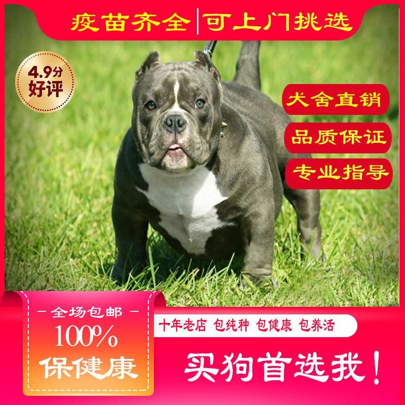 出售精品恶霸犬 打完疫苗证书齐全 提供养狗指导