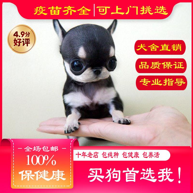 出售精品吉娃娃犬 打完疫苗证书齐全 提供养狗指导