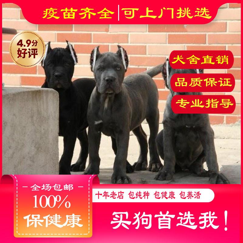 出售精品卡斯罗 打完疫苗证书齐全 提供养狗指导