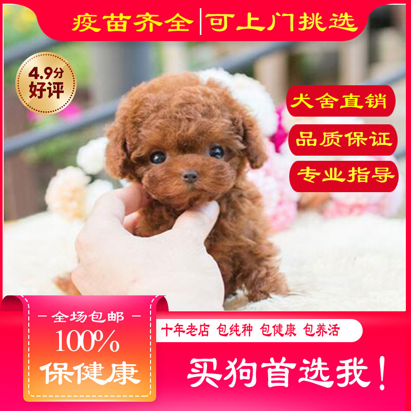出售精品泰迪 打完疫苗证书齐全 提供养狗指导