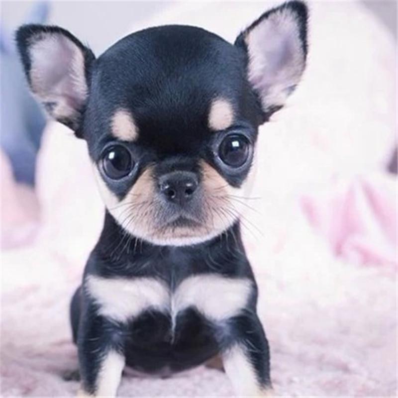 出售精品吉娃娃 打完疫苗证书齐全 提供养狗指导3
