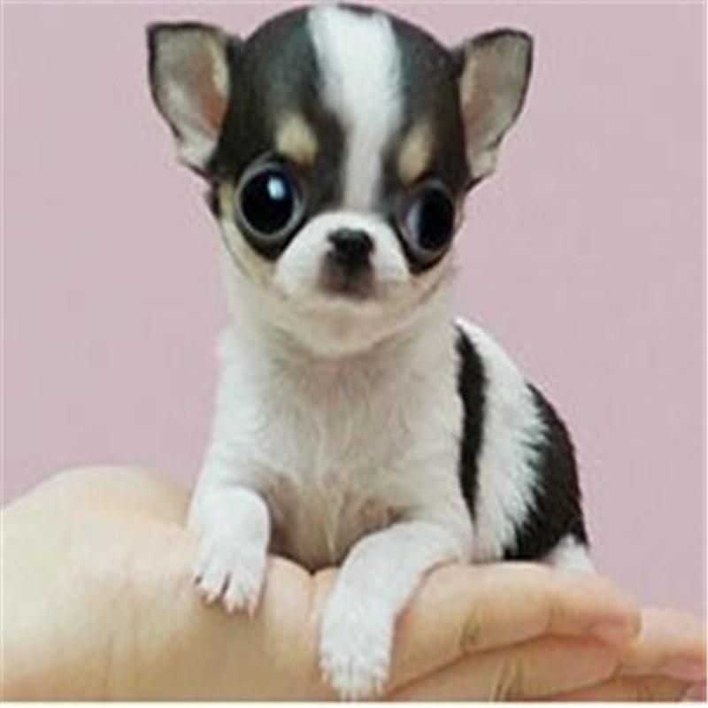 出售精品吉娃娃 打完疫苗证书齐全 提供养狗指导4
