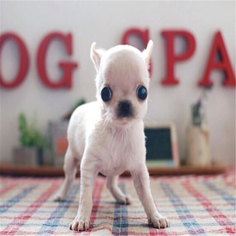出售精品吉娃娃 打完疫苗证书齐全 提供养狗指导2