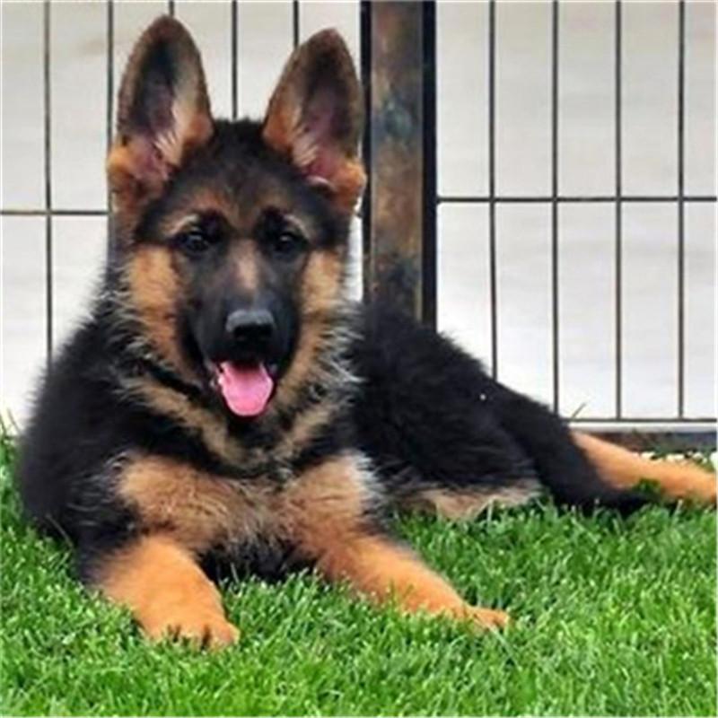 出售精品狼狗 打完疫苗证书齐全 提供养狗指导4