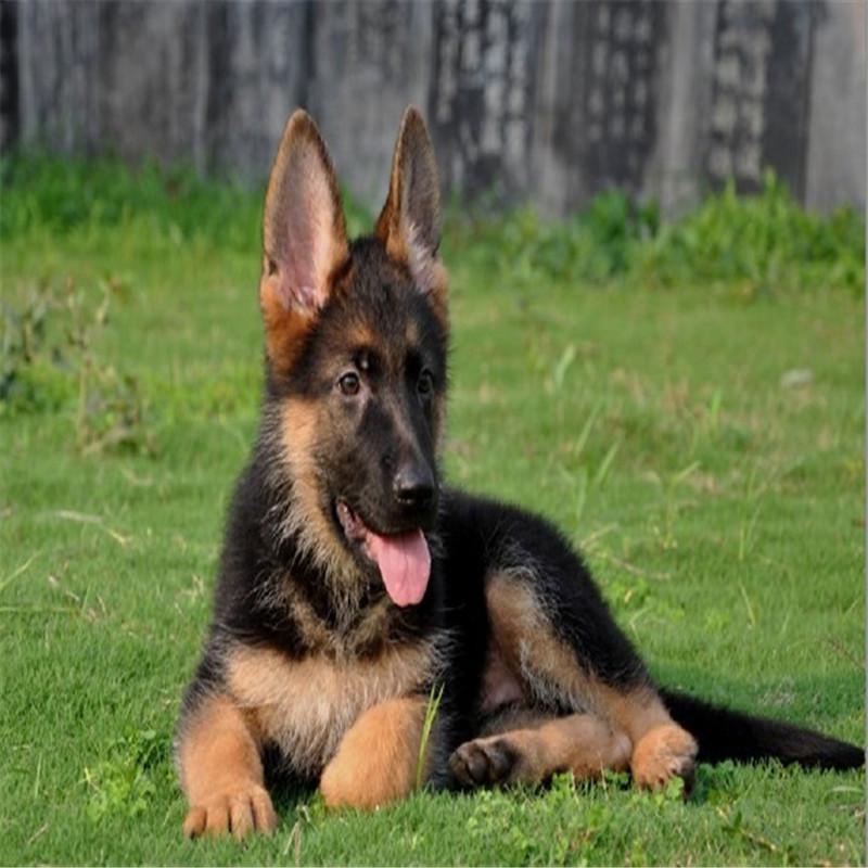 出售精品狼狗 打完疫苗证书齐全 提供养狗指导2