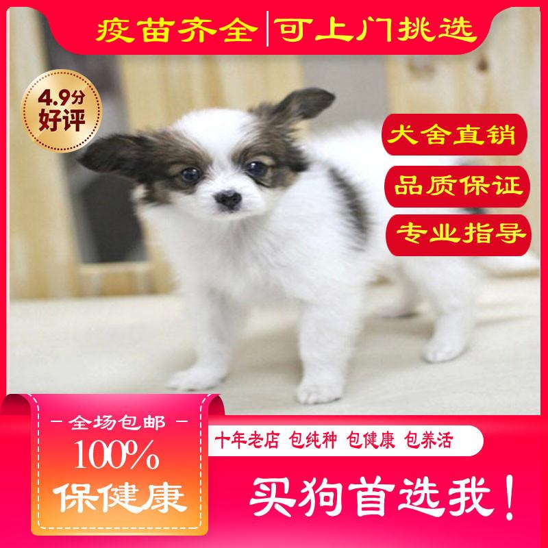 出售精品蝴蝶犬