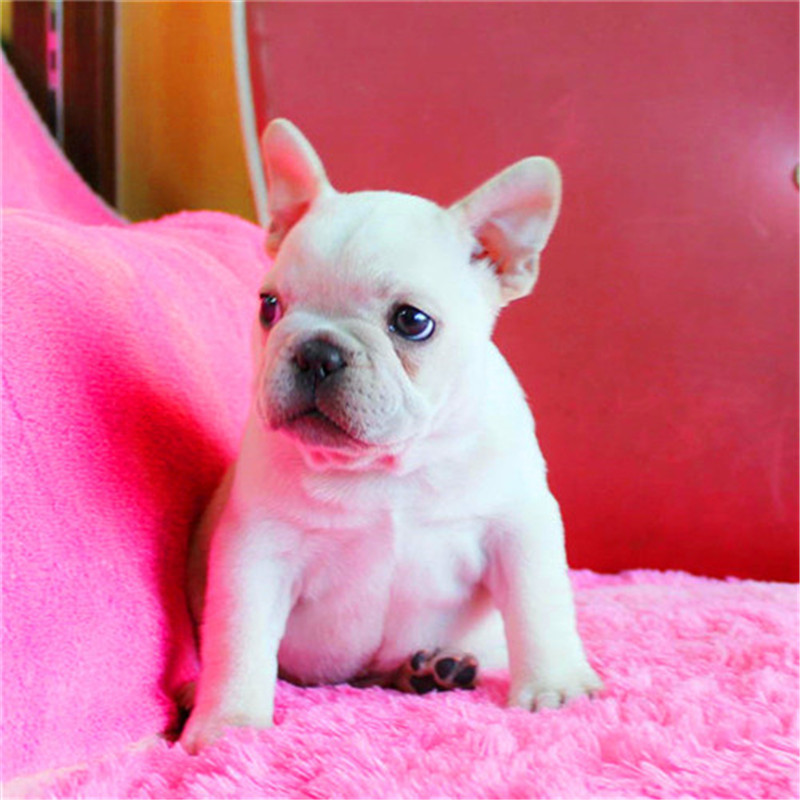 出售精品法国斗牛犬 打完疫苗证书齐全 提供养狗指导3