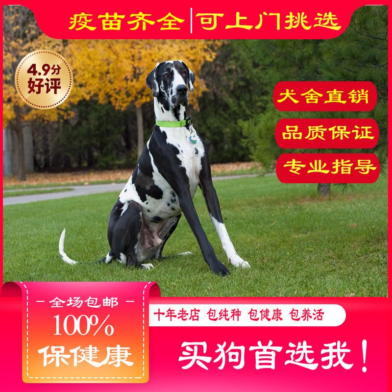 出售精品大丹犬 打完疫苗证书齐全 提供养狗指导