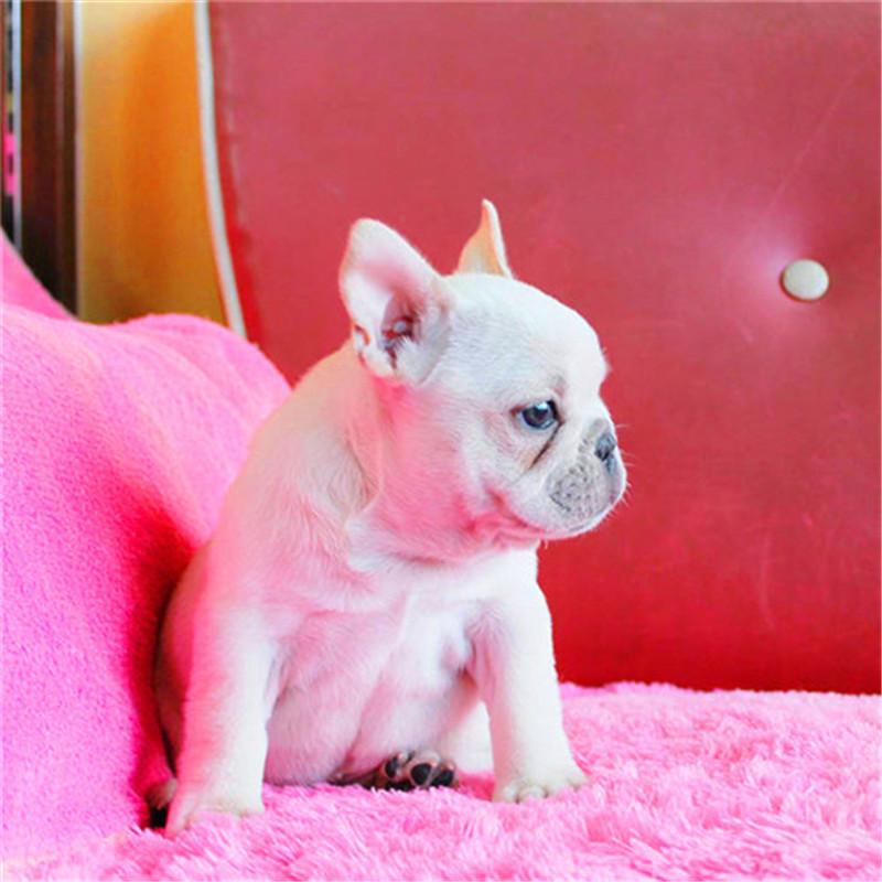 出售精品法国斗牛犬 打完疫苗证书齐全 提供养狗指导2