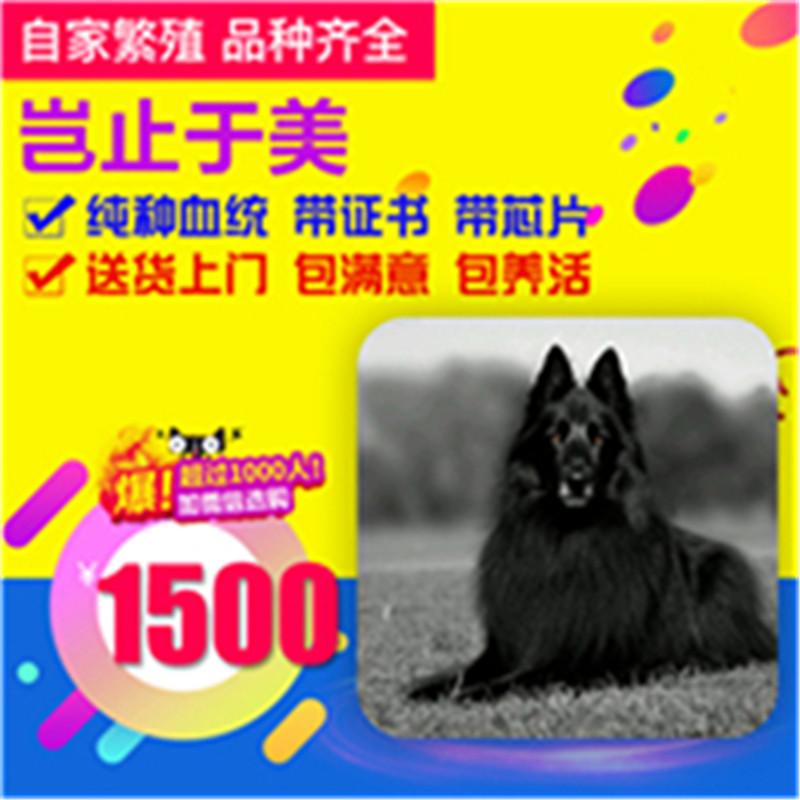 出售精品比利时牧羊犬 打完疫苗证书齐全 提供养狗指导