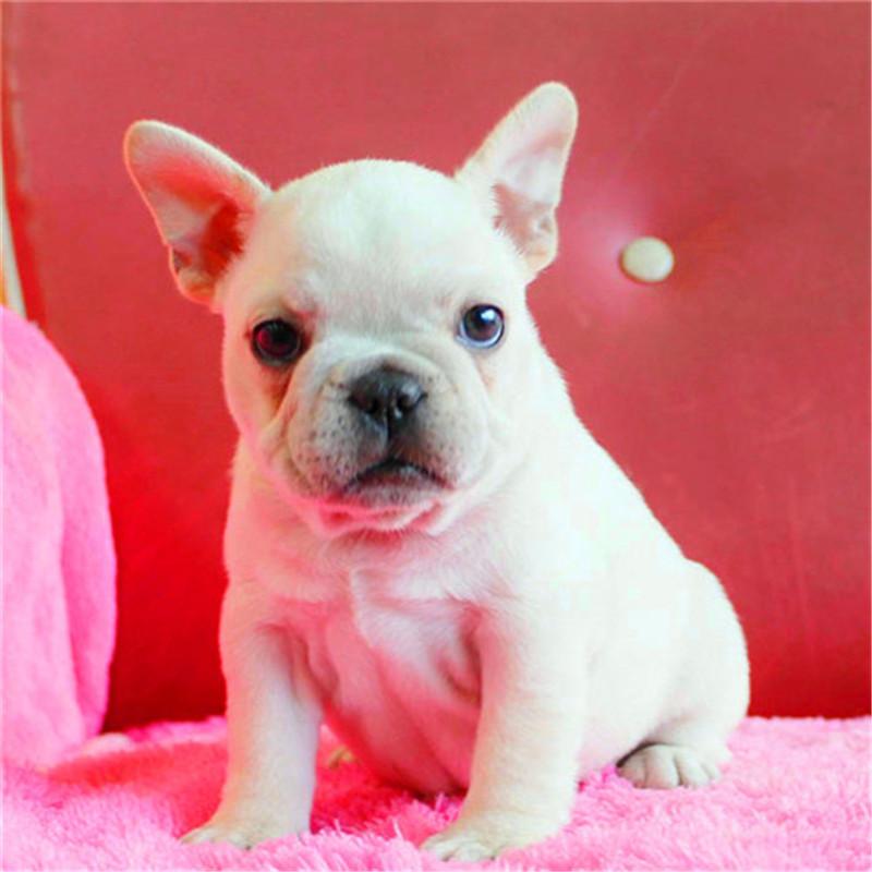 出售精品法国斗牛犬 打完疫苗证书齐全 提供养狗指导4