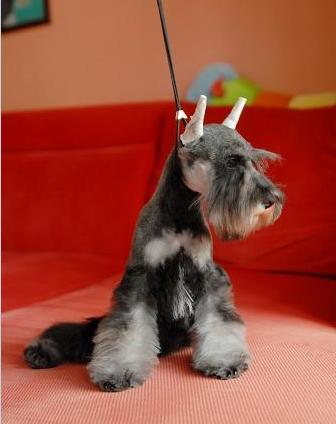 出售雪纳瑞山羊胡子老头狗可以裁耳朵4