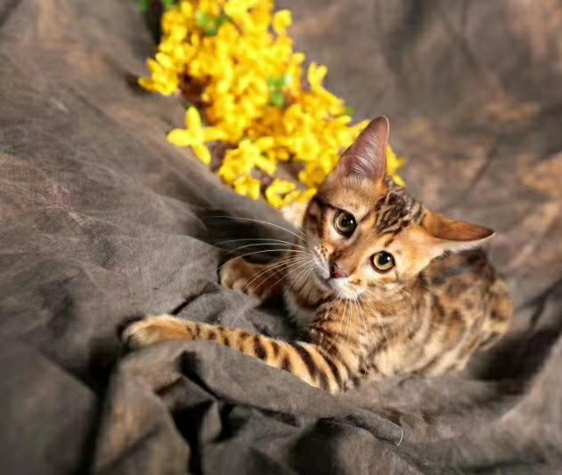 CFA猫舍繁育精品孟加拉豹猫 多只可选疫苗齐全