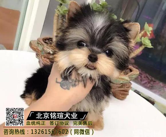 实物拍摄精品约克夏犬保纯种健康 签终身质售后可送货