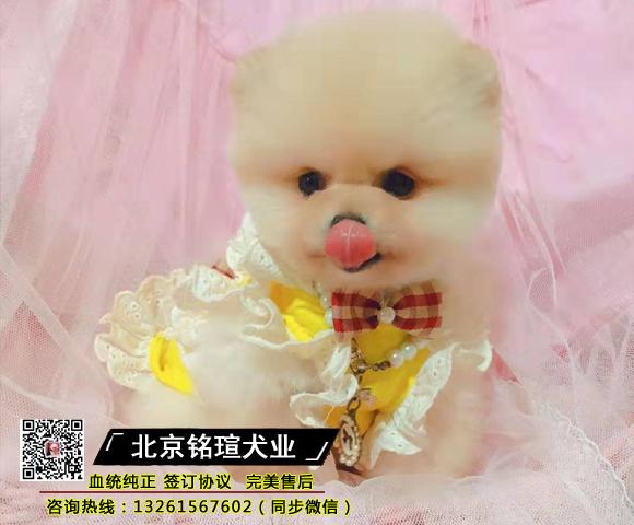 茶杯犬博美幼犬纯种出售小型俊介活体宠物狗狗