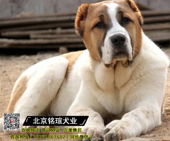 顶级中亚牧羊犬 血统纯正 自家繁殖|签协议|全国发货