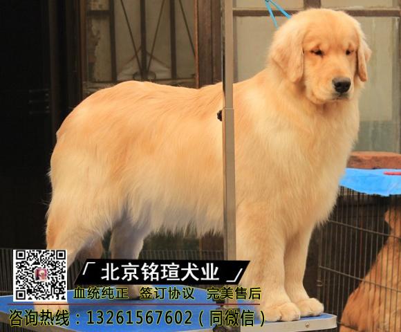 大骨量金毛幼犬出售丨自家繁殖丨实物拍照丨现场做检测