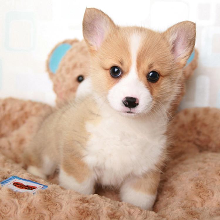 柯基幼犬·三色双色都有·合肥本地店里现货3
