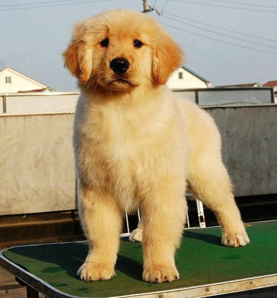 出售金毛幼犬 纯种赛级的金毛 骨架大毛量足 签协议