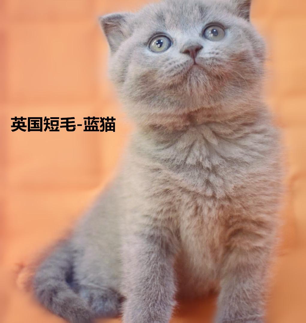 特价999~英短折耳蓝猫