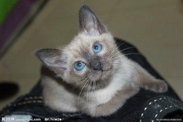 买暹罗猫多少钱一只 保180天健康东莞哪里有卖暹罗猫的