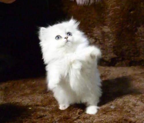 深圳哪里有卖金吉拉 深圳哪里有猫舍
