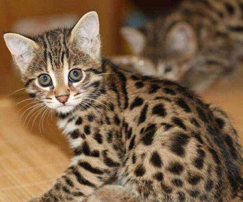 豹猫多少钱一只 深圳哪里有猫舍 深圳什么地方有猫舍