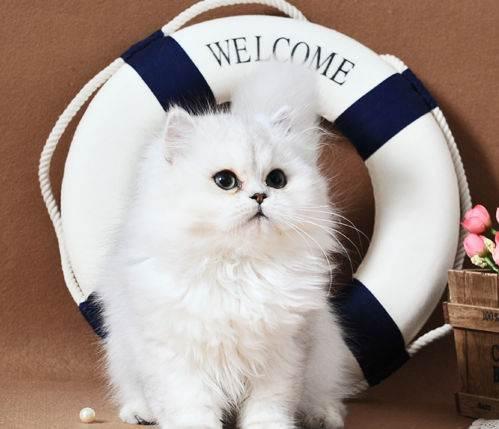东莞宠物猫价格东莞哪里有卖金吉拉多少钱